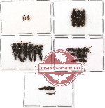 Scientific lot no. 24 Staphylinidae (19 pcs - 3 pcs A2)