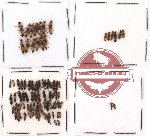 Scientific lot no. 45 Staphylinidae (84 pcs)
