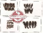 Scientific lot no. 41 Staphylinidae (75 pcs)