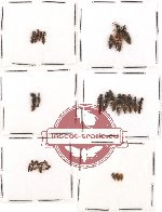 Scientific lot no. 26 Staphylinidae (29 pcs)