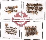 Scientific lot no. 38 Staphylinidae (184 pcs)