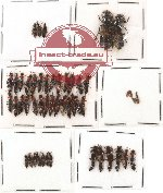Scientific lot no. 43 Staphylinidae (51 pcs)