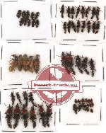 Scientific lot no. 25 Staphylinidae (60 pcs)