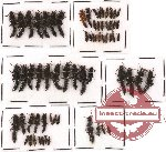 Scientific lot no. 44 Staphylinidae (66 pcs)