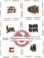 Scientific lot no. 33 Staphylinidae (64 pcs)