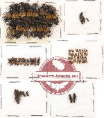 Scientific lot no. 42 Staphylinidae (85 pcs)