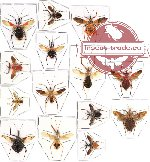 Scientific lot no. 106 Heteroptera - Reduvidae (14 pcs A-, A2)