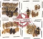 Scientific lot no. 101 Heteroptera (58 pcs)