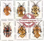 Scientific lot no. 105 Heteroptera - Scutellarinae (6 pcs)