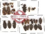 Scientific lot no. 110 Heteroptera (34 pcs)