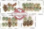 Scientific lot no. 100 Heteroptera - Pentatomidae (36 pcs)