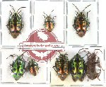 Scientific lot no. 104 Heteroptera - Scutellarinae (8 pcs - 5 pcs A2)
