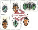 Scientific lot no. 104A Heteroptera - Scutellarinae (8 pcs A-, A2)