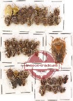 Scientific lot no. 109 Heteroptera - Pentatomidae (45 pcs)
