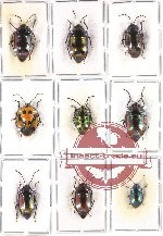 Scientific lot no. 103 Heteroptera - Scutellarinae (9 pcs - 3 pcs A2)