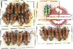 Scientific lot no. 87 Heteroptera - Scutellarinae (16 pcs A2)