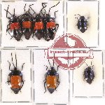 Scientific lot no. 102 Heteroptera - Scutellarinae (8 pcs A, A-, A2)