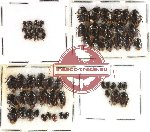 Scientific lot no. 89 Heteroptera - Cydnidae (59 pcs)
