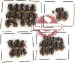 Scientific lot no. 99 Heteroptera - Cydnidae (42 pcs)