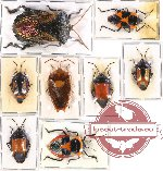 Scientific lot no. 108 Heteroptera - Pentatomidae, Scutellarinae (8 pcs - 3 pcs A2)
