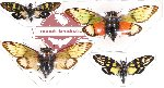 Scientific lot no. 4 Cicadidae (4 pcs A-, A2)
