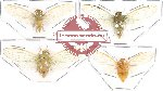 Scientific lot no. 2 Cicadidae (4 pcs A-, A2)