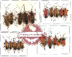 Scientific lot no. 49 Heteroptera (20 pcs - 5 pcs A2)