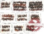 Scientific lot no. 1 Attelabidae (153 pcs)