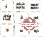 Scientific lot no. 3 Attelabidae (45 pcs)