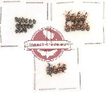 Scientific lot no. 4 Attelabidae (29 pcs)