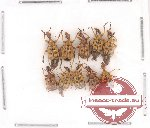 Scientific lot no. 5 Attelabidae (10 pcs)