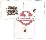 Scientific lot no. 6 Attelabidae (78 pcs)