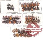 Scientific lot no. 7 Attelabidae (65 pcs)