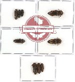 Scientific lot no. 25 Eucnemidae (9 pcs)