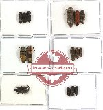 Scientific lot no. 26 Eucnemidae (15 pcs - 5 pcs A2)