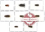 Scientific lot no. 27 Eucnemidae (8 pcs)