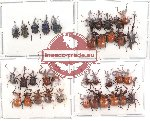 Scientific lot no. 9 Attelabidae (36 pcs)