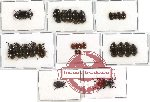 Scientific lot no. 100 Tenebrionidae (27 pcs)