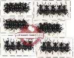 Scientific lot no. 101 Tenebrionidae (30 pcs)