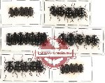 Scientific lot no. 103 Tenebrionidae (32 pcs)