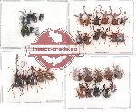 Scientific lot no. 11 Attelabidae (35 pcs)