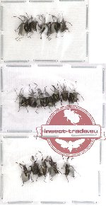 Scientific lot no. 12 Attelabidae (A2) (17 pcs)