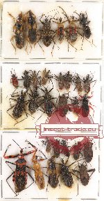 Scientific lot no. 127 Heteroptera - mostly Reduvidae (30 pcs - 10 pcs A2)