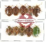 Scientific lot no. 125 Heteroptera (Pentatomidae) (10 pcs A2)