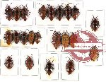 Scientific lot no. 126 Heteroptera (Scutellarinae) (22 pcs A, A-, A2)