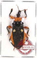 Scientific lot no. 118 Heteroptera (1 pc A2)