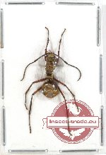 Formicidae sp. 37 (5 pcs)