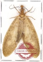 Corydalidae sp. 8