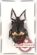 Pentatomidae sp. 8 (NOT SPREAD) (A2)