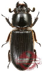 Passalidae sp. 11A